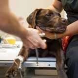 castração em cachorra