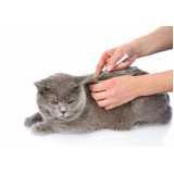 castração do gato Butantã